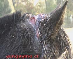 Maltrato Animal en yungay