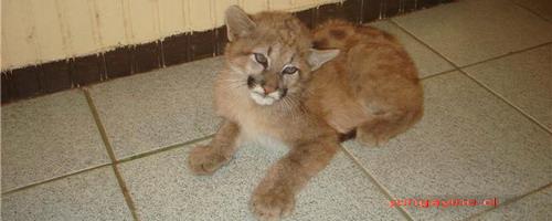 Puma Cachorro Encontrado en Límite Entre Yungay y Pemuco