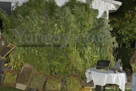 Carabineros de la Cuarta Comisaría de Yungay Detiene a Una Persona e Incauta Mayor Plantación de Marihuana de los Últimos Años en la Comuna