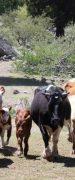 SAG Recuerda Realizar Declaración de Existencia Animal Hasta el 30 de Noviembre